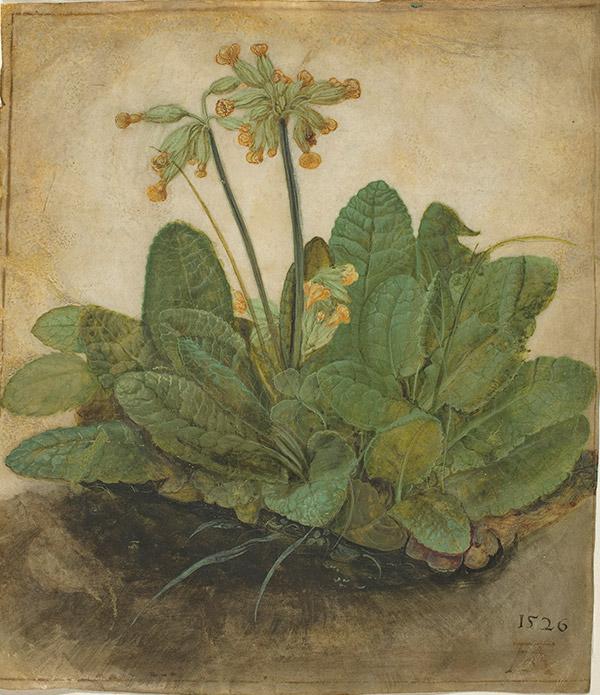 Альбрехт Дюрер. Tuft of Cowslips, 1526